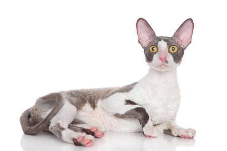 cornish: Cornish Rex cat lying on a white background