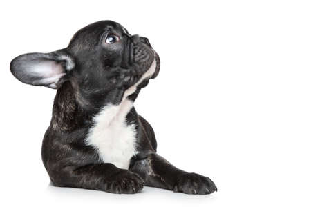francais: Black French bulldog puppy lying and looking up on a white background Stock Photo