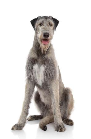 irish background: Happy Irish Wolfhound sits on a white background Stock Photo