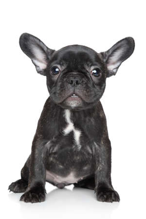sits: Black French bulldog puppy sits on a white background Stock Photo