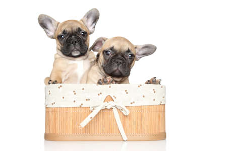 francais: French bulldog puppies in wicker basket on a white background Stock Photo