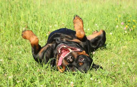 funny Rottweiler