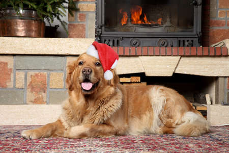 Golden retriever in Santa xmas cap lies near fireplace photo
