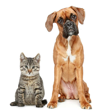 Brown cat and dog Boxer breed on a white background