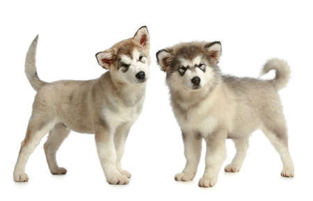 Alaskan Malamute puppies on a white background photo
