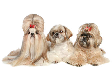 shihtzu: Shih Tzu dogs posing on a white background