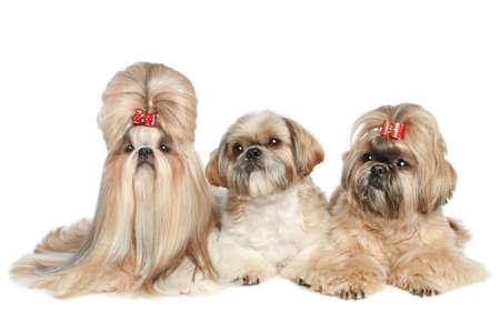 shih tzu: Shih Tzu dogs posing on a white background