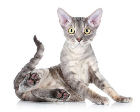 devon: Devon Rex cat sits on a white background