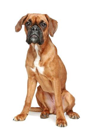 puta: Perrito del boxeador alemán puta se sienta en un fondo blanco Foto de archivo