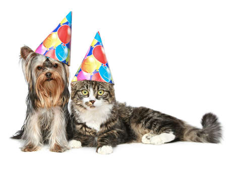 party animal: Yorkshire terrier and a Norwegian forest cat in festive cones resting on a white background Stock Photo