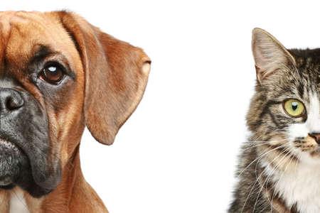 perro boxer: Perro y gato mitad de la boca cerca retrato sobre un fondo blanco Foto de archivo