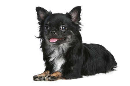 chiwawa: Long-haired chihuahua dog on a white background