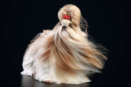 shihtzu: Shih tzu with a bow on a dark background