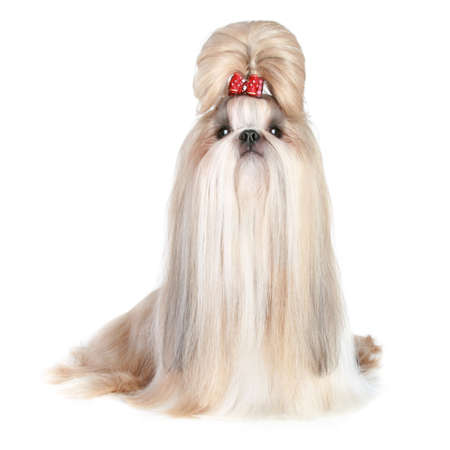 Hund der Rasse Shih Tzu auf weißem Hintergrund Standard-Bild