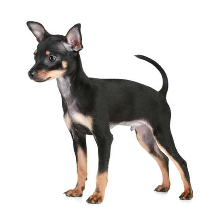 toy terrier: Russian toy terrier stand su sfondo bianco