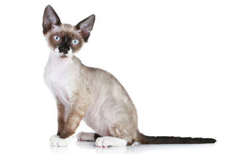 devon: Devon-Rex cat sitting on a white background