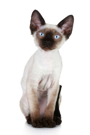 siamese cats: Devon rex cat portrait on a white background