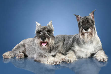 studioshot: Two mittelschnauzer lying on blue background. Studio-shot