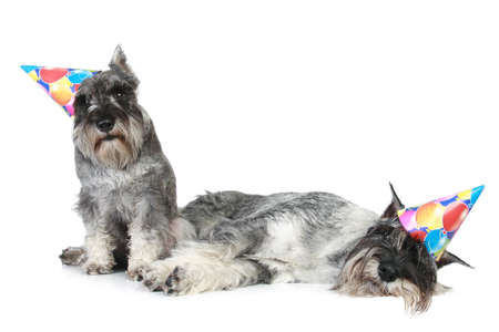 schnauzer: Two tired standard schnauzers in party-caps lie on a white background. Studio-shot