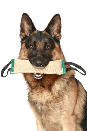 German Shepherd dog with a toy in his mouth on a white background