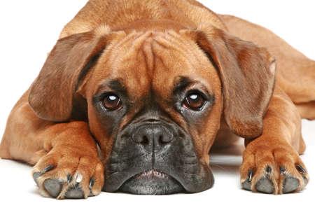 perro boxer: Perrito del boxeador alemán 5 meses acostado en un fondo blanco