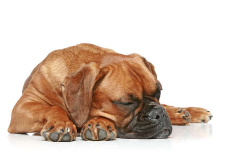 German Boxer puppy sleeping on a white background photo