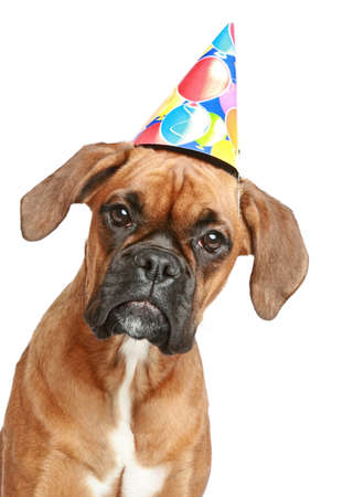 Close-up portrait of a boxer puppy in party cone on white background photo