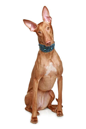 pharaoh: Pharaoh hound sits on a white background