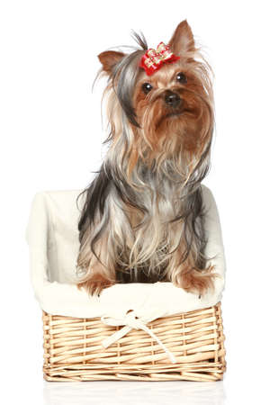 wattled: Yorkshire Terrier Puppy in wattled basket on a white background Stock Photo