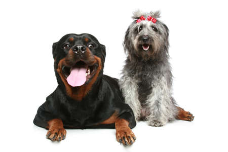 Rottweiler and gray, mongrel dog relax on a white background photo