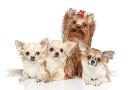 chiwawa: Long coat chihuahua and Yorkshire terrier on a white background