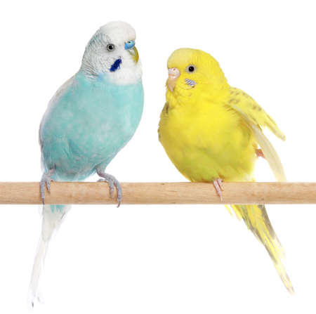 budgie: Two Budgie sit on a perch on a white background