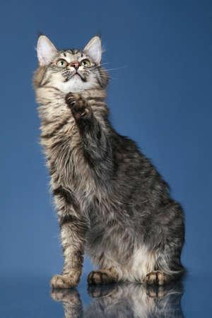 메인 coon 고양이는 어두운 파란색 배경에 발을 당긴다.