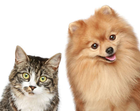 pomeranian: Cat and Spitz puppy on a white background