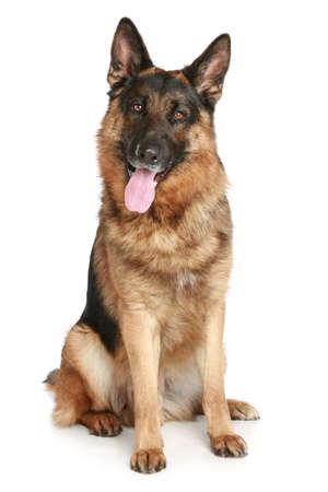Deutsch Schäferhund sitzt auf einem weißen Hintergrund