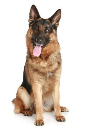shepherds: German Shepherd dog sitting on a white background Stock Photo
