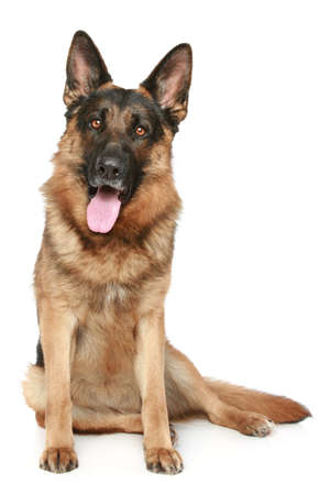 longhaired: German Shepherd dog sitting on a white background Stock Photo