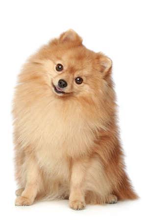 Lächerlich Spitz-Hund sitzt auf einem weißen Hintergrund