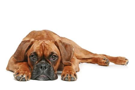 perro boxer: Perrito del boxeador alemán (5 meses) se extiende sobre un fondo blanco