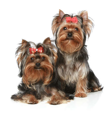 yorky: Two Yorkshire Terrier Puppies on a white background