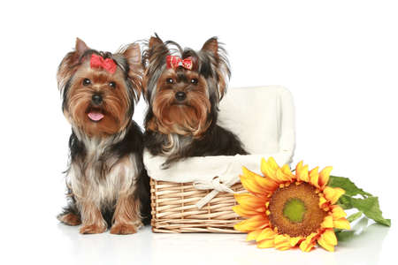 yorky: Yorkshire Terrier Puppies with wattled basket on a white background