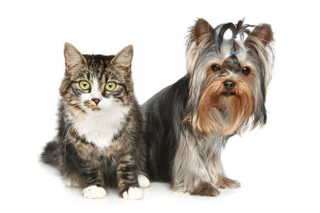 cat grooming: Striped kitten and yorkshire terrier on a white background