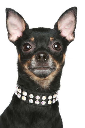 dog toy: Toy terrier dog with collar. Portrait on a white background