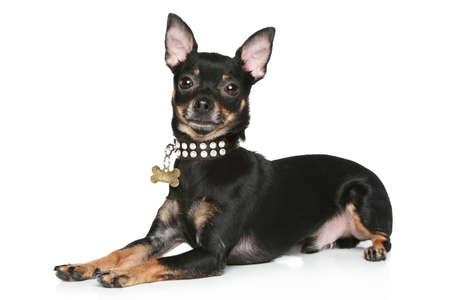 toy terrier: Cucciolo di terrier giocattolo sdraiato su uno sfondo bianco