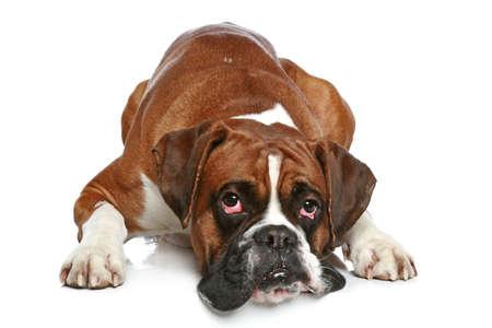 Perro del boxeador triste, tumbada sobre un fondo blanco Foto de archivo - 23827722