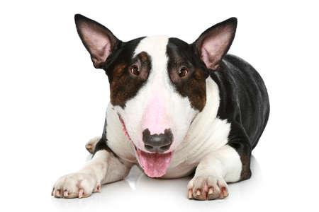 Bull Terrier resting on a white background