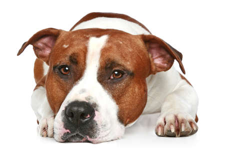 amstaff: Sad Staffordshire terrier lying on a white background. Close-up portrait