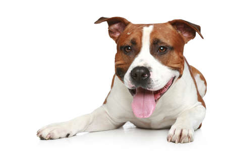 amstaff: Staffordshire terrier lying on a white background.