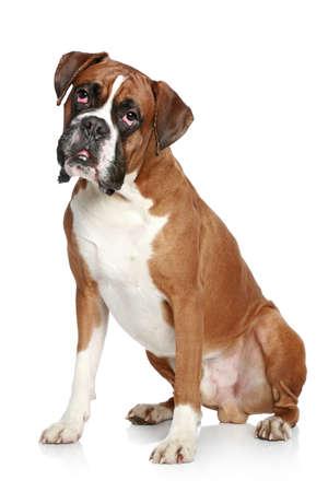 boxer dog: Boxer dog portrait on a white background