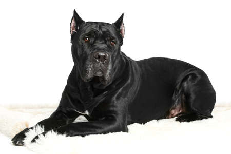 cane corso: Cane Corso breed dog lying on a white background